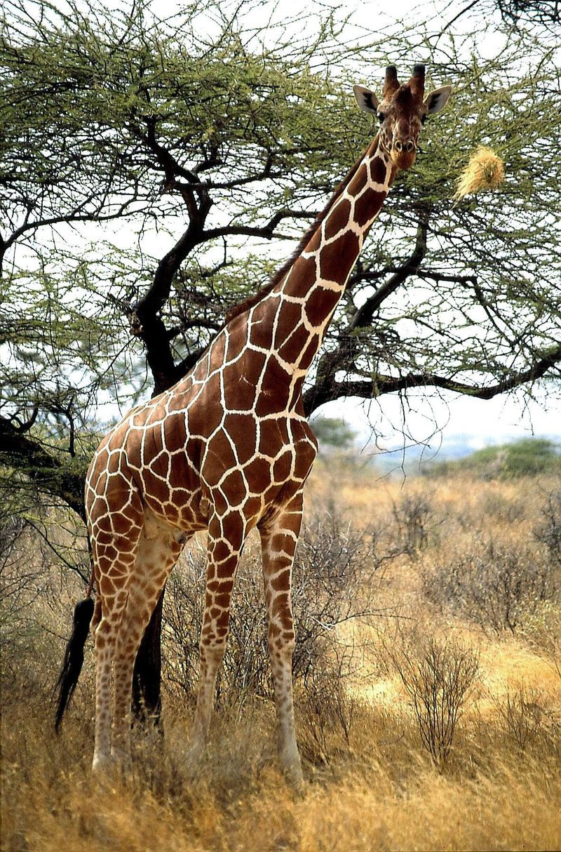 Girafe 1 copie