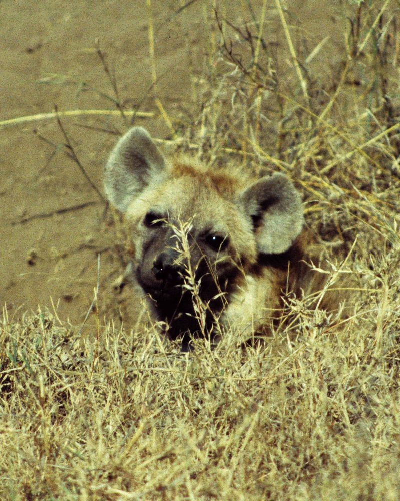 Hyène1 copie