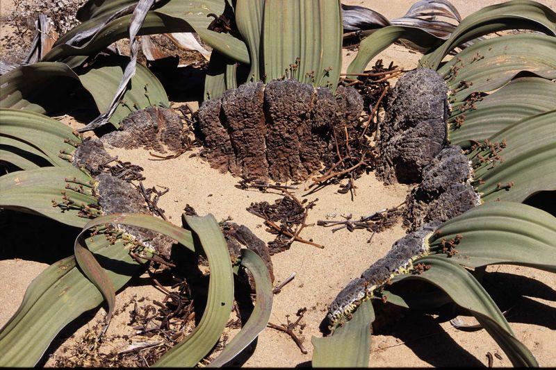 Welwitschia3 copie