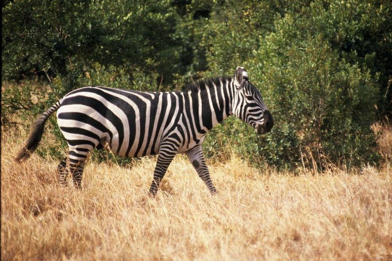 Grant zebra walking copie copie