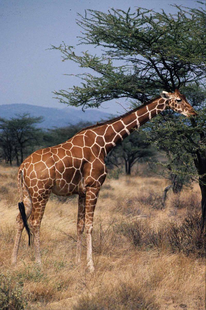 Girafe réticulée copie