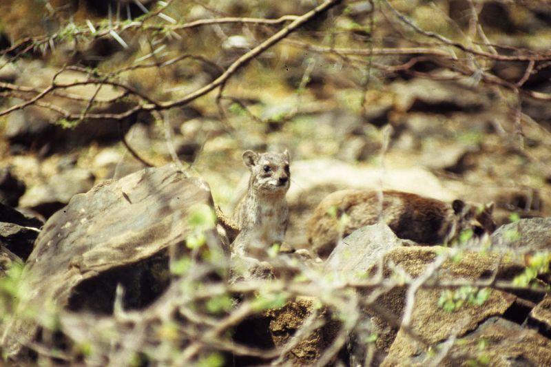 Dassies (hyrax)