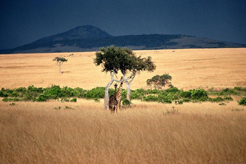 Girafes massaï orage