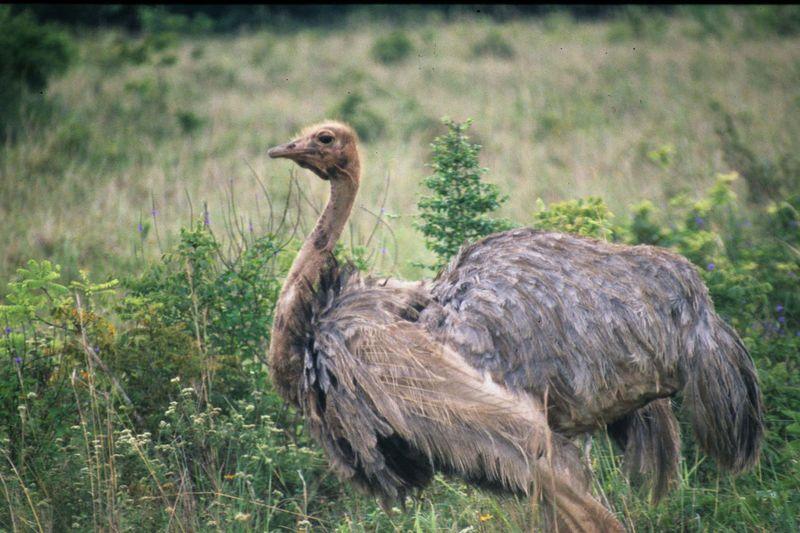 Dwarf ostrich copie