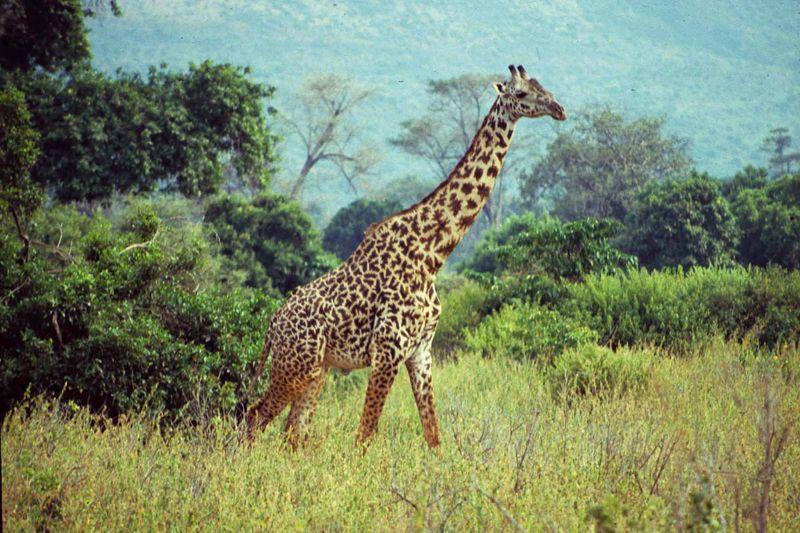 Girafe masai copie copie