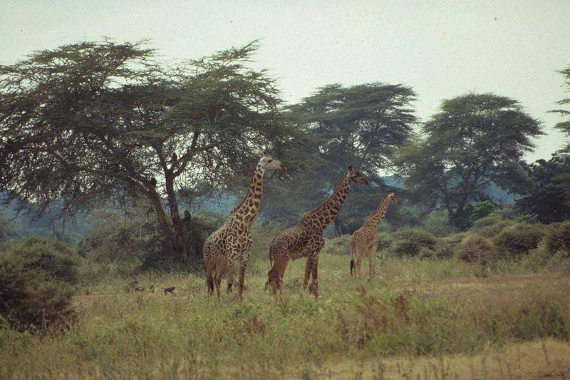Girafes tanzanie copie