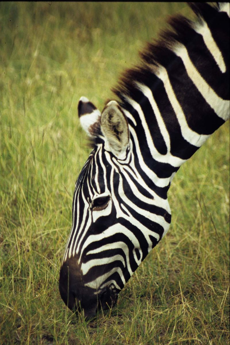 Zebra close copie